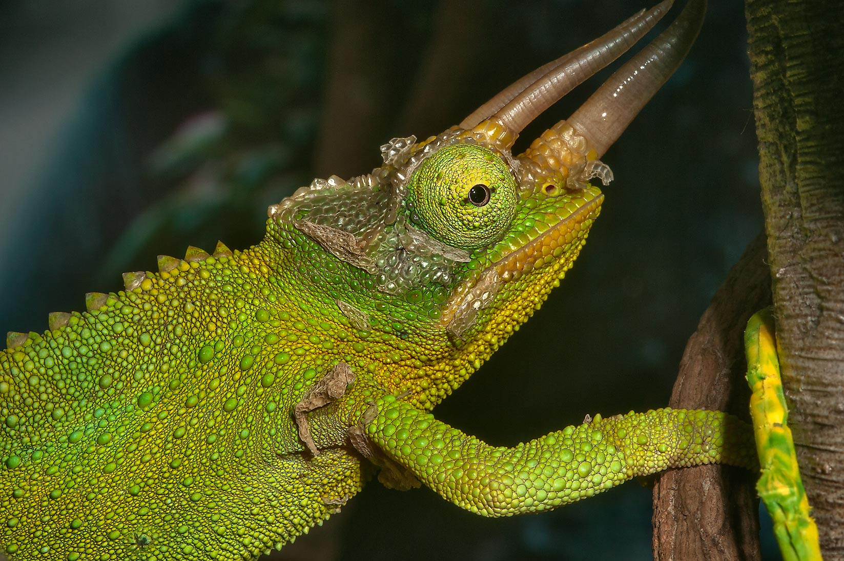 Green basilisk (Basiliscus plumifrons) in...of Moody Gardens. Galveston, Texas