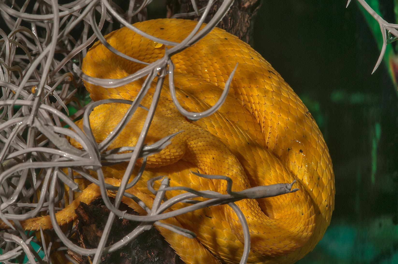 Yellow snake in Rainforest Pyramid of Moody Gardens. Galveston, Texas