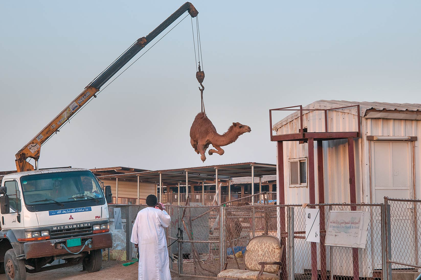 Loading a camel by crane on a truck in Camel...Wholesale Markets area. Doha, Qatar
