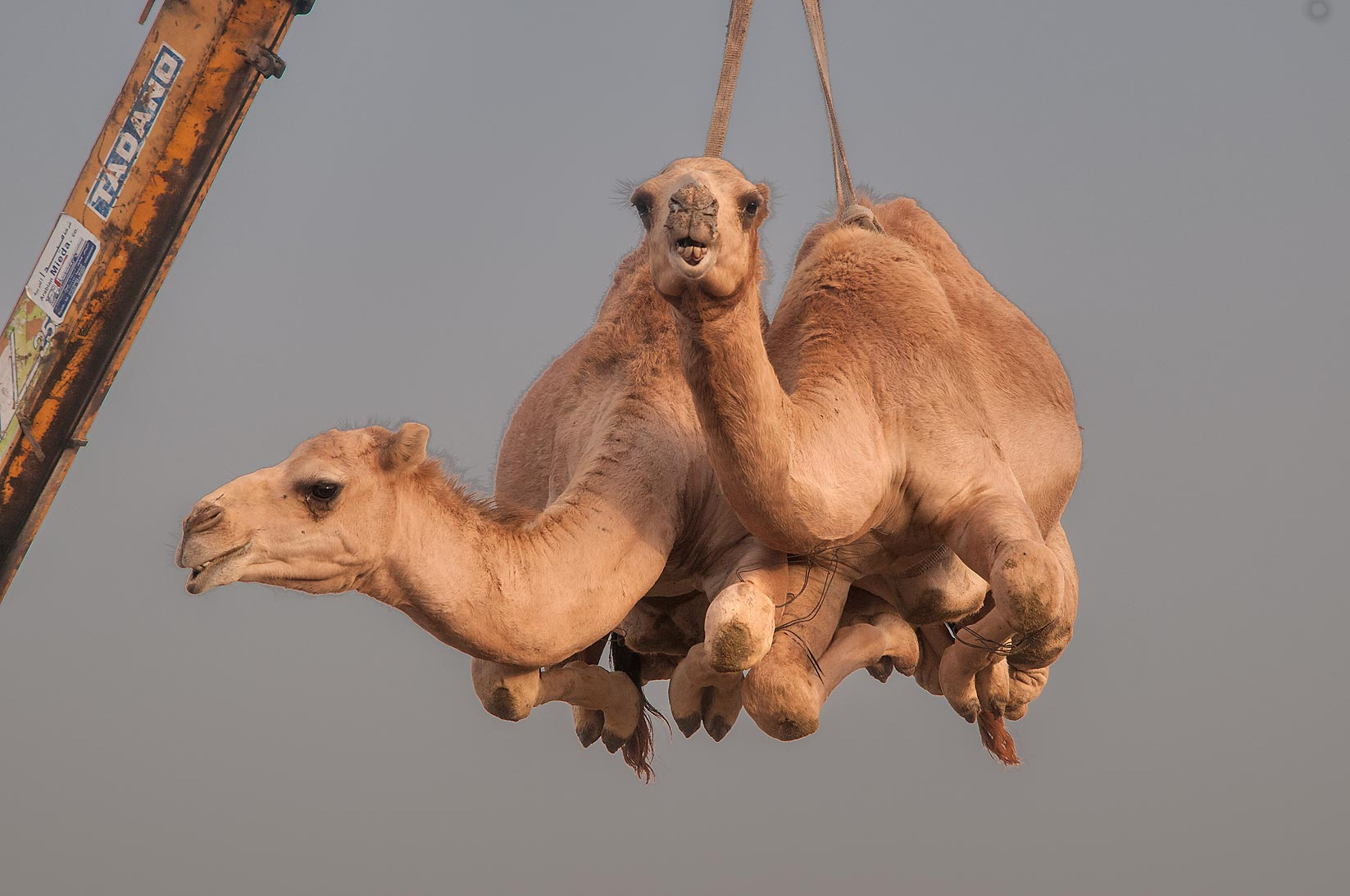 Camels suspended from crane in Camel Market, Wholesale Markets area. Doha, Qatar