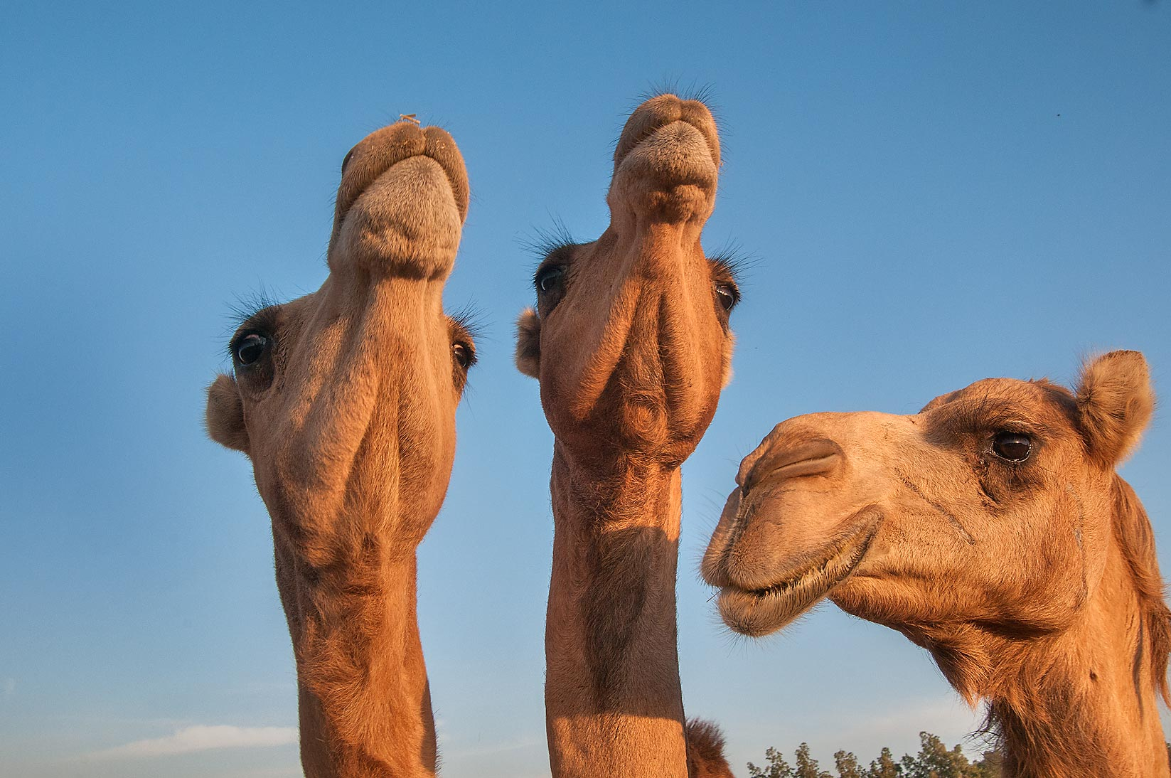 Three camel's heads in Camel Market, Wholesale Markets area. Doha, Qatar