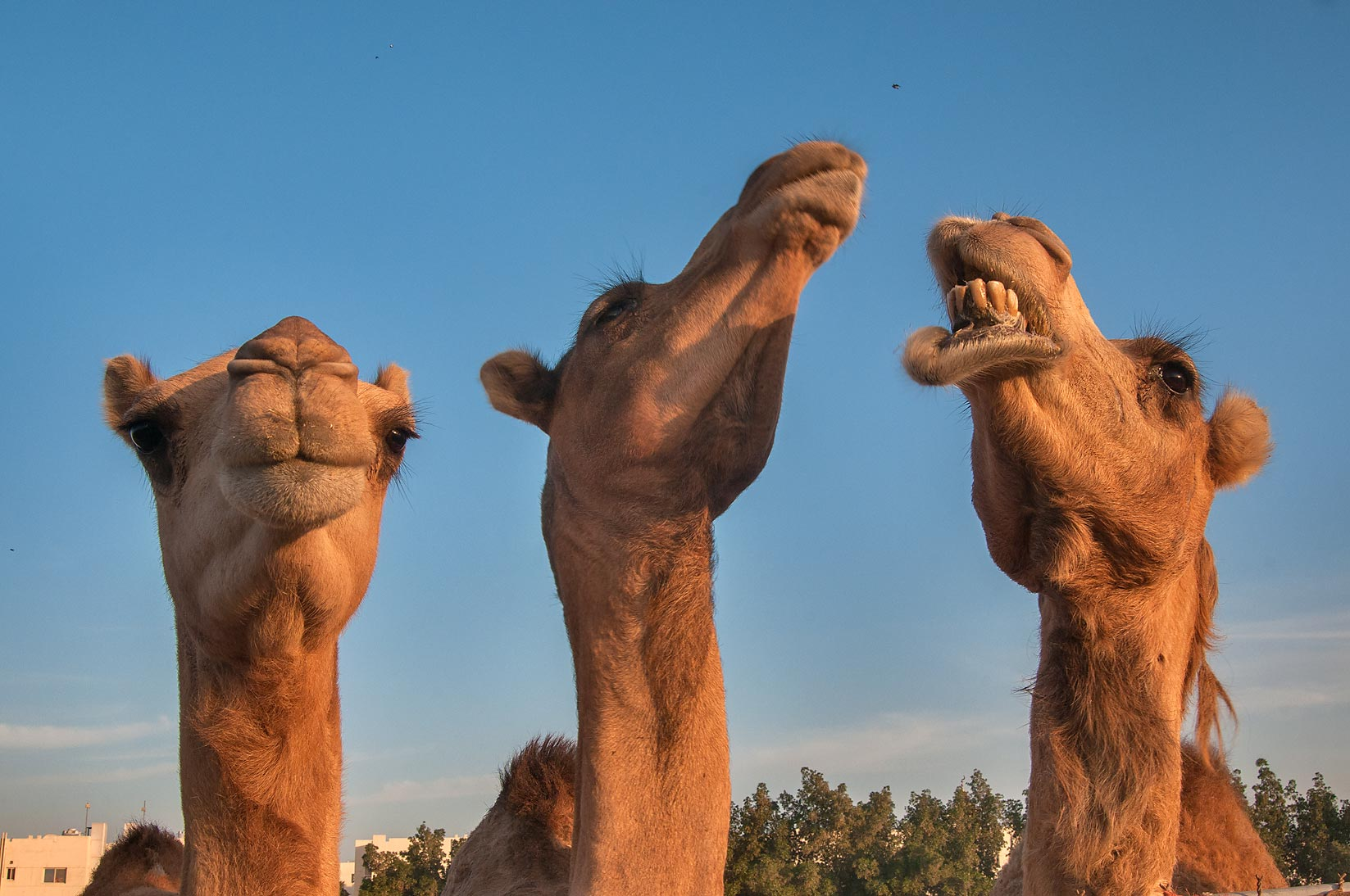 Three camels in Camel Market, Wholesale Markets area. Doha, Qatar