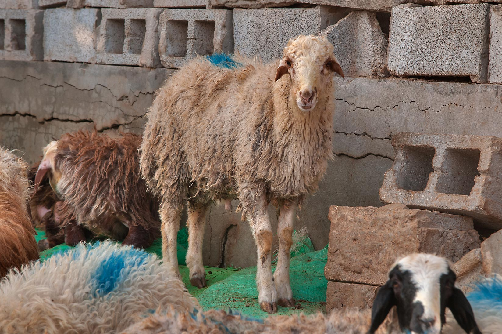 Sheep standing on cinder blocks in Sheep Market, Wholesale Markets area. Doha, Qatar