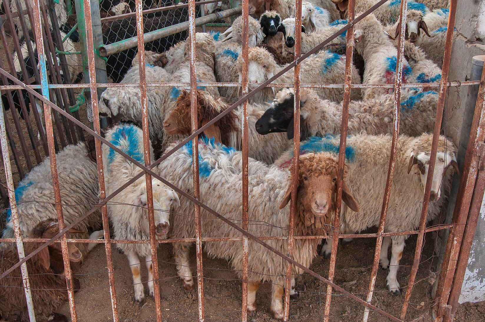 Sheep herd in a pen in Sheep Market, Wholesale Markets area. Doha, Qatar