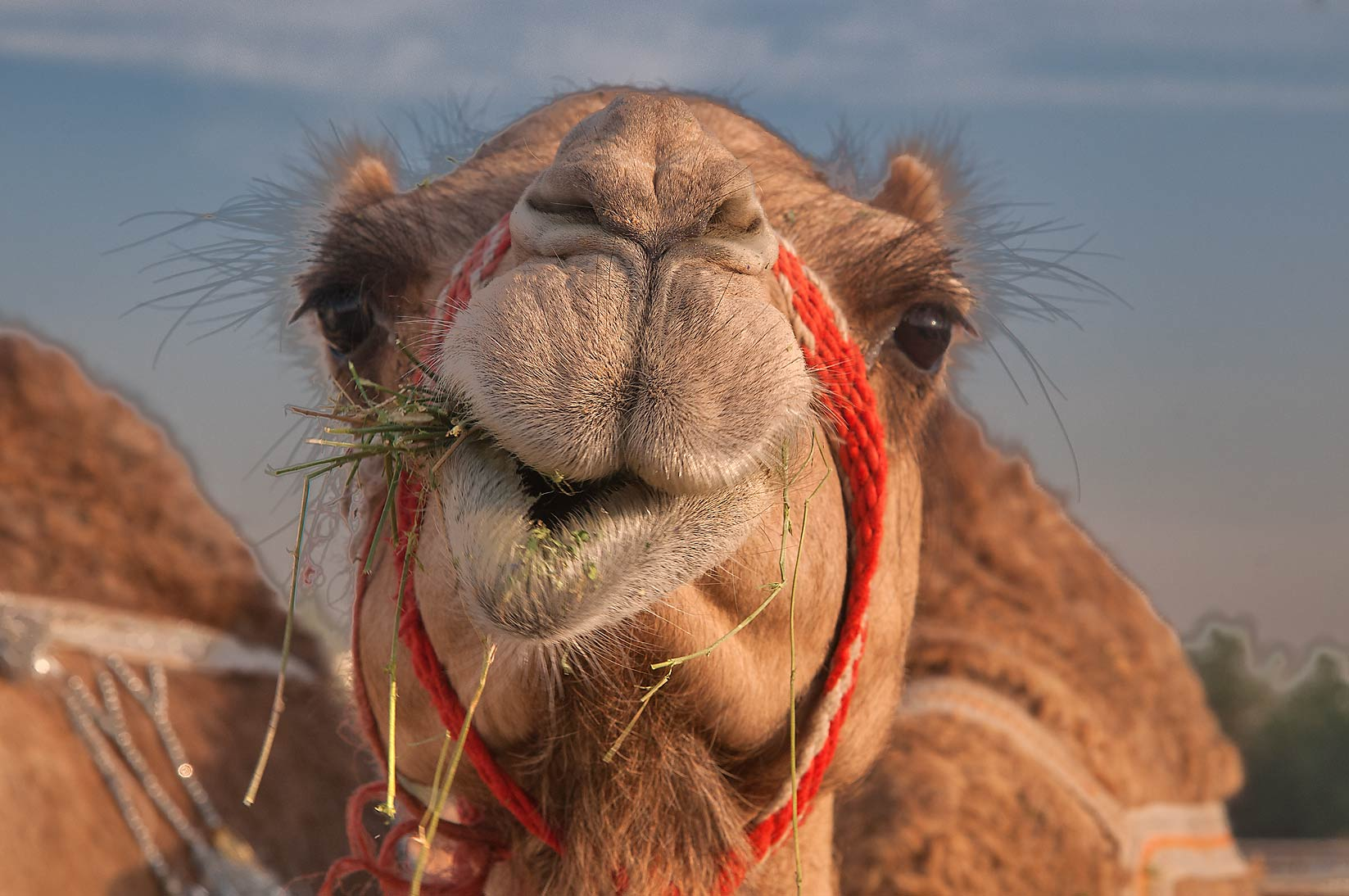 Camel chewing hay in Livestock Market, Wholesale Markets area. Doha, Qatar