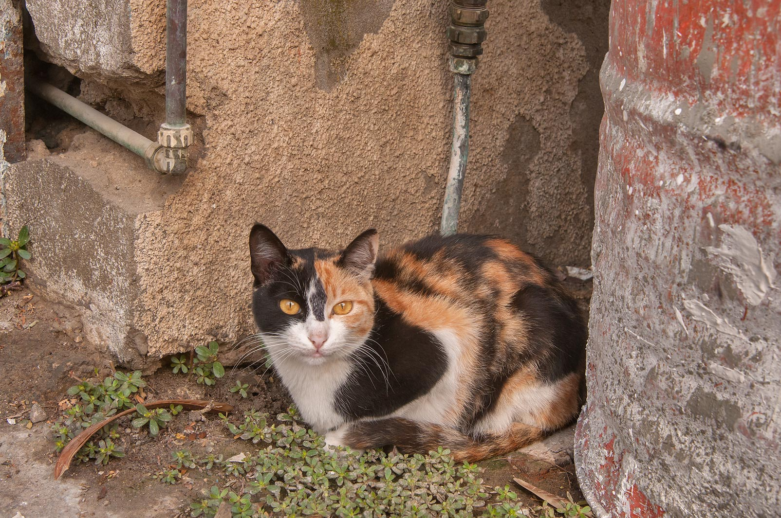 Calico cat at Al Diwan St., Musheirib area. Doha, Qatar