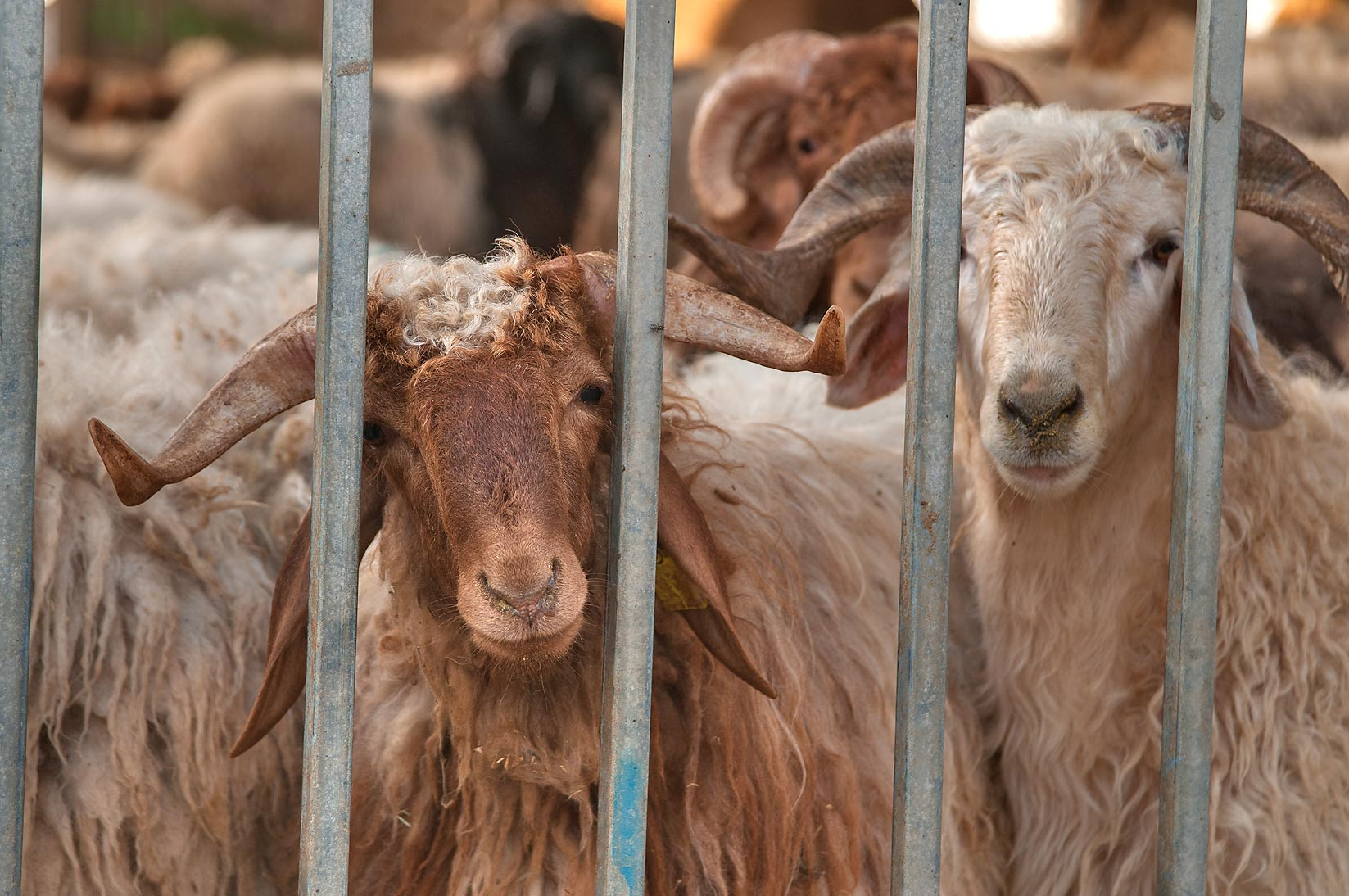 Sheep behind iron bars in Livestock Market, Wholesale Markets area. Doha, Qatar