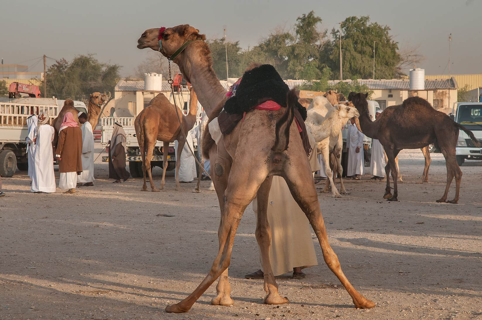 Camel in wide posture in Livestock Market, Wholesale Markets area. Doha, Qatar