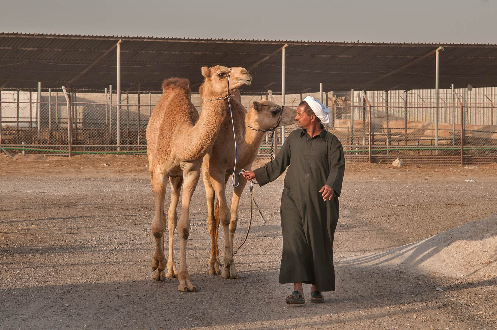 Two camels in Livestock Market, Wholesale Markets area. Doha, Qatar