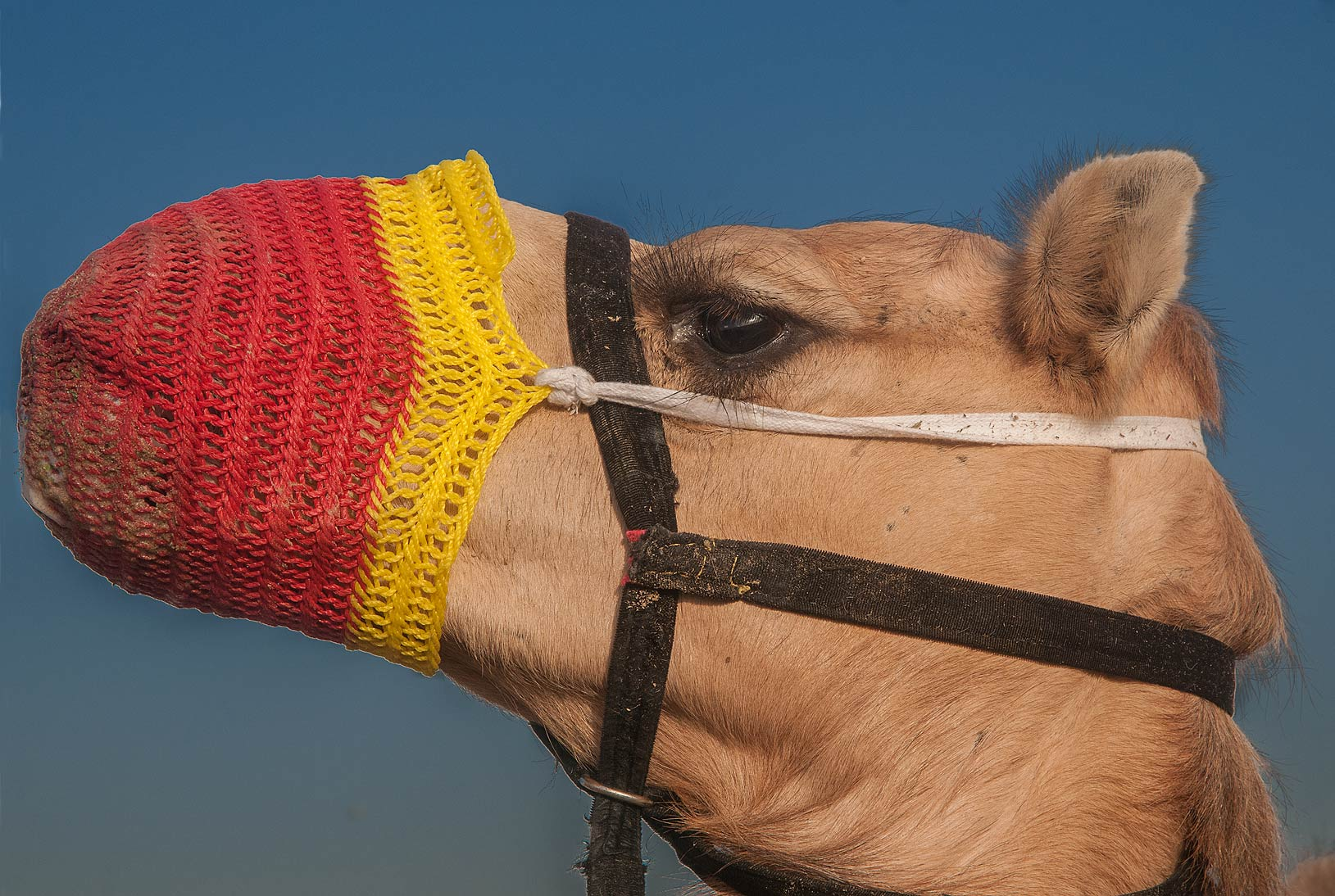Camel sporting red muzzle in Livestock Market, Wholesale Markets area. Doha, Qatar