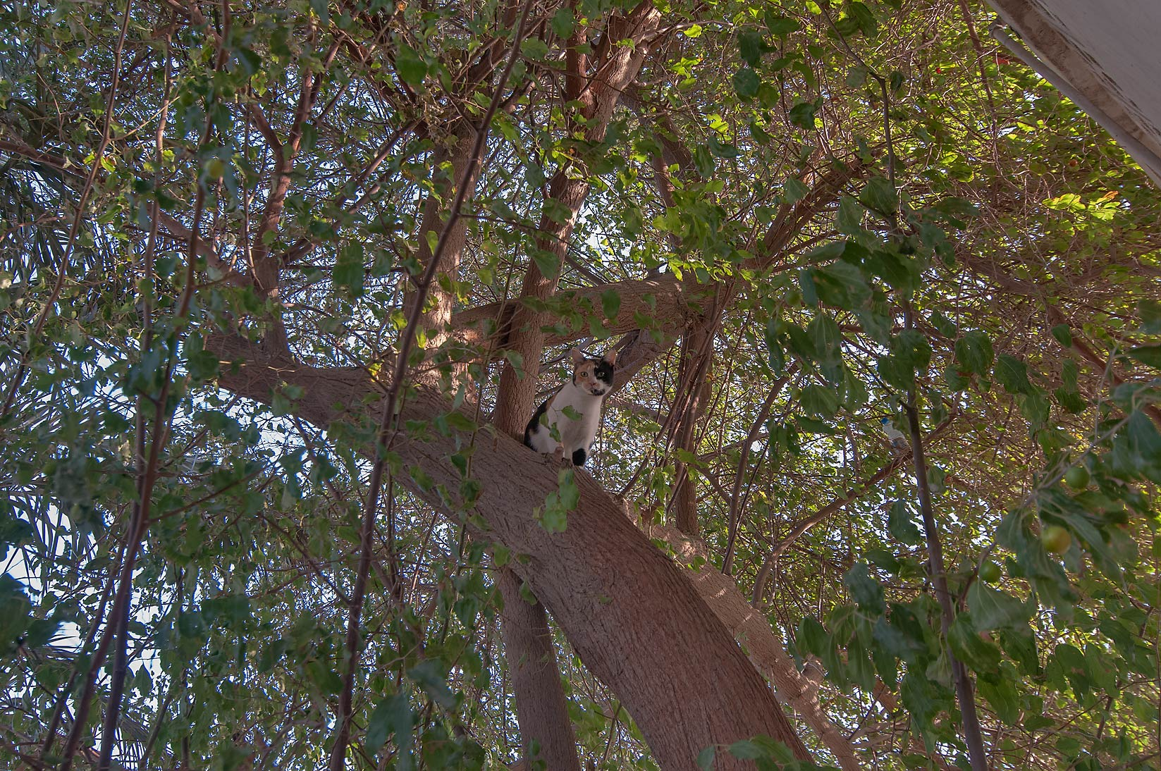 Frightened calico cat sitting on sidra tree...Market, Abu Hamour area. Doha, Qatar