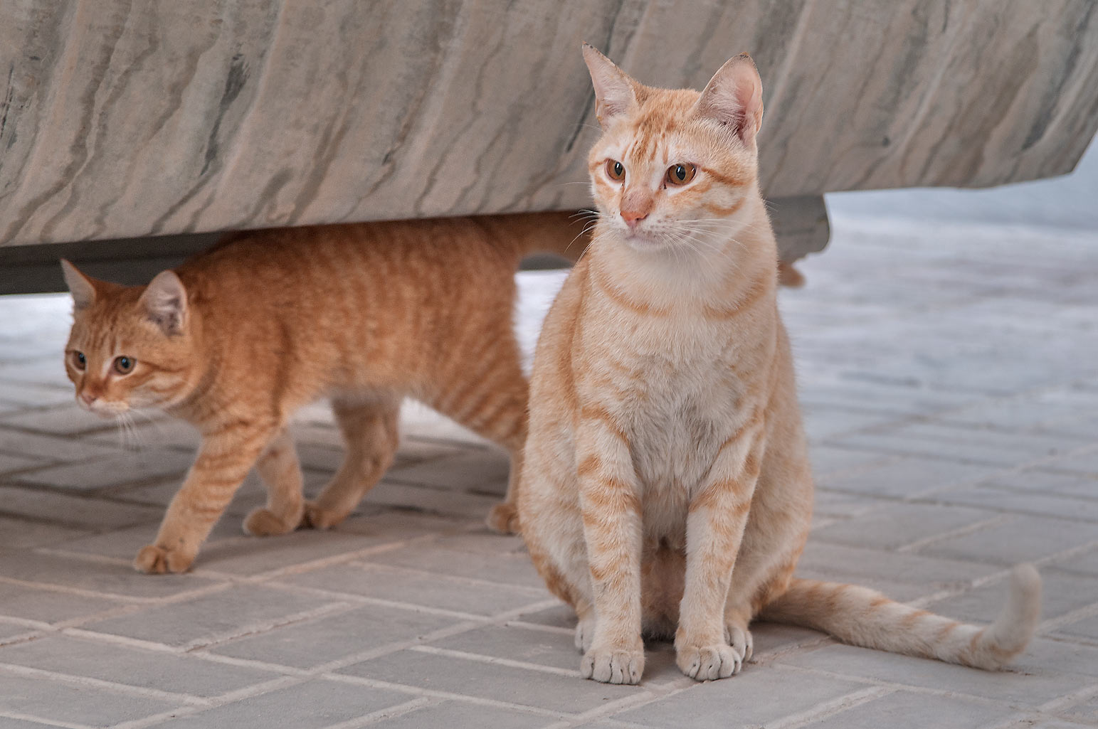 Brown arabian mau cats under a dumpster in Dar Al...Compound, Abu Hamour area. Doha, Qatar