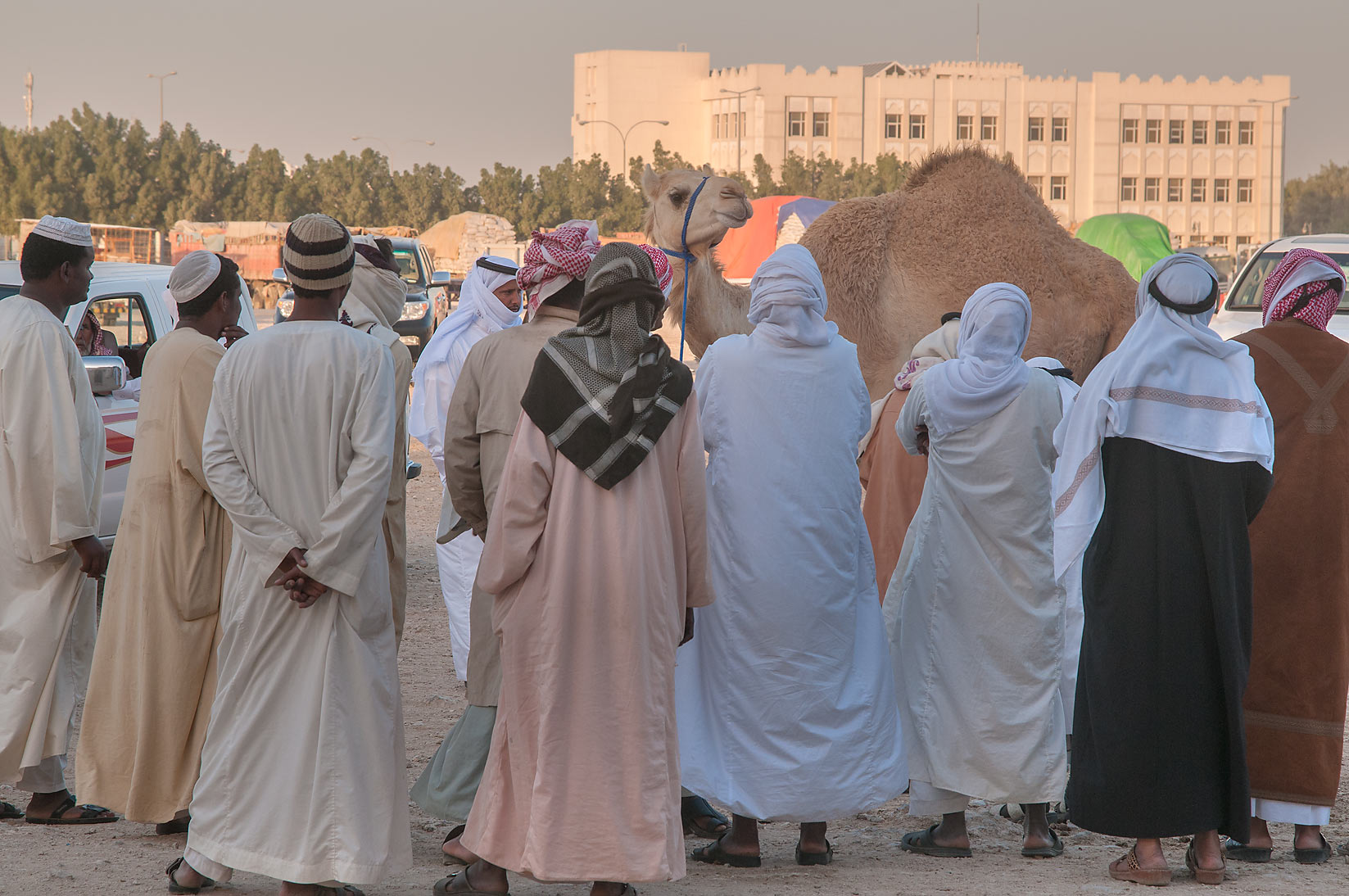 Camel shopping in area of wholesale markets, Abu Hamour area. Doha, Qatar