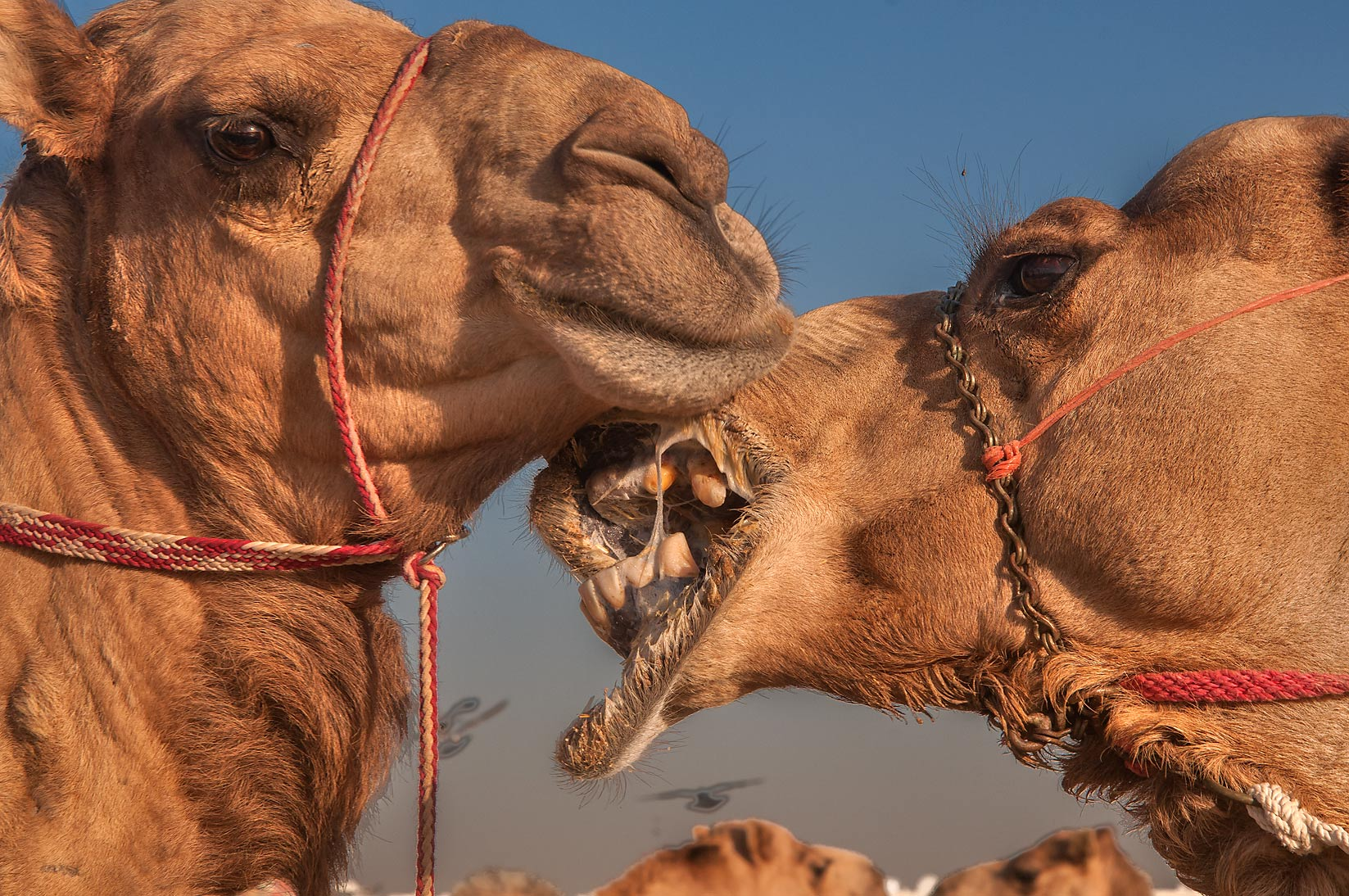 Two camel's heads in livestock market, Abu Hamour area. Doha, Qatar