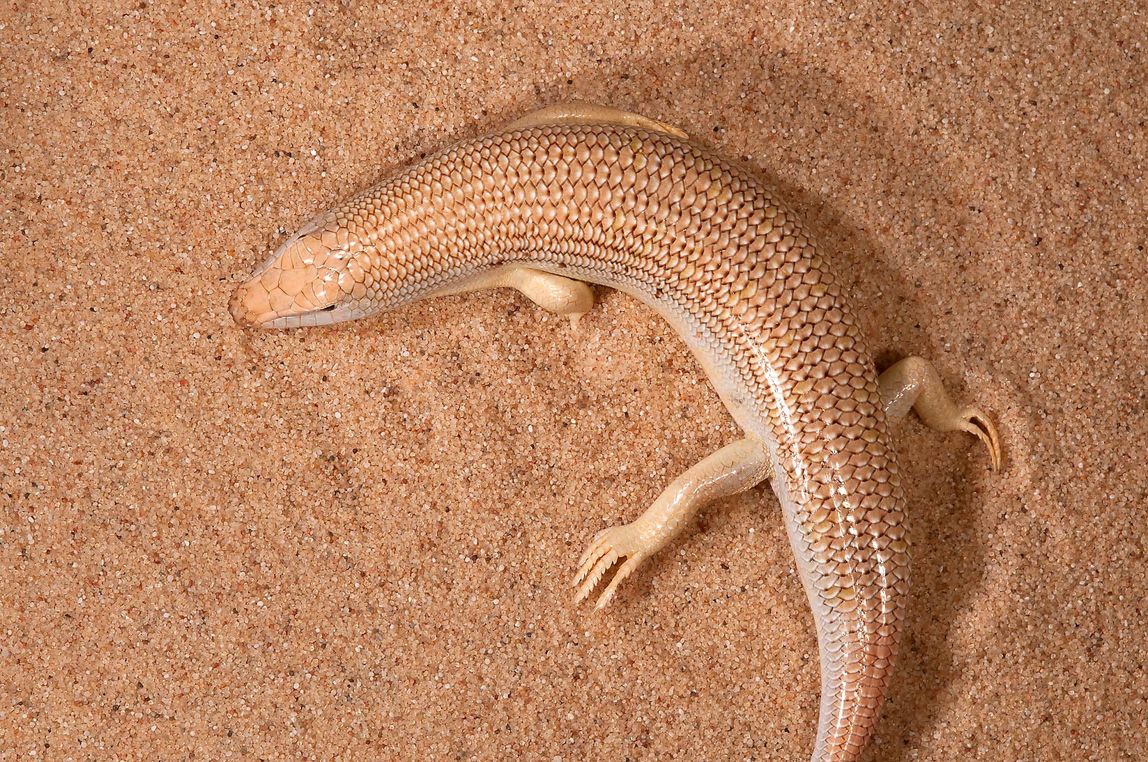 Desert lizard Eastern sandfish (skink, Chalcides...Mesayeed, south-west from Doha. Qatar
