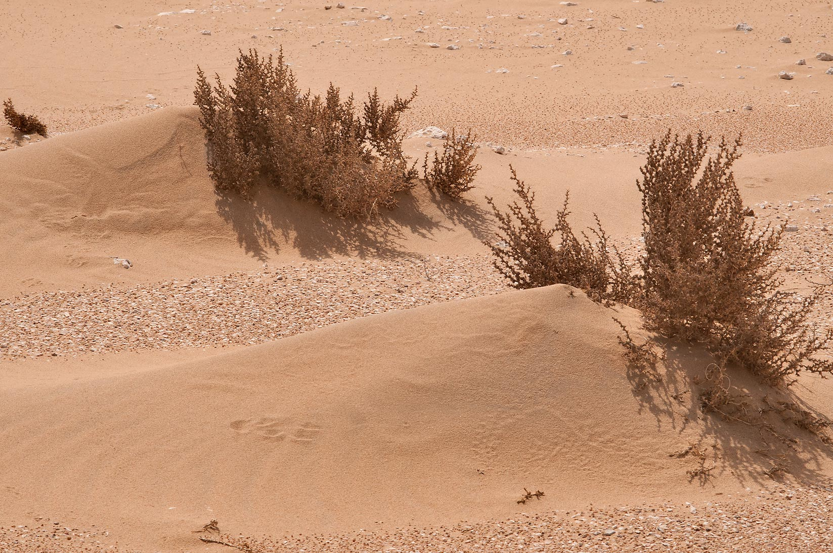 Accumulation of drifting sand around bushy desert...Mesayeed, south-west from Doha. Qatar
