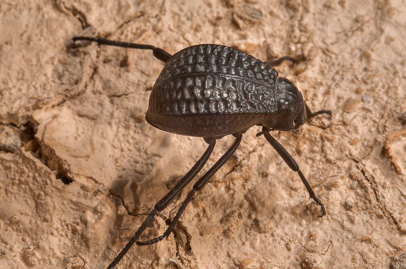 Pitted darkling beetle (Adesmia cancellata) near...of Ras Laffan, north from Doha. Qatar