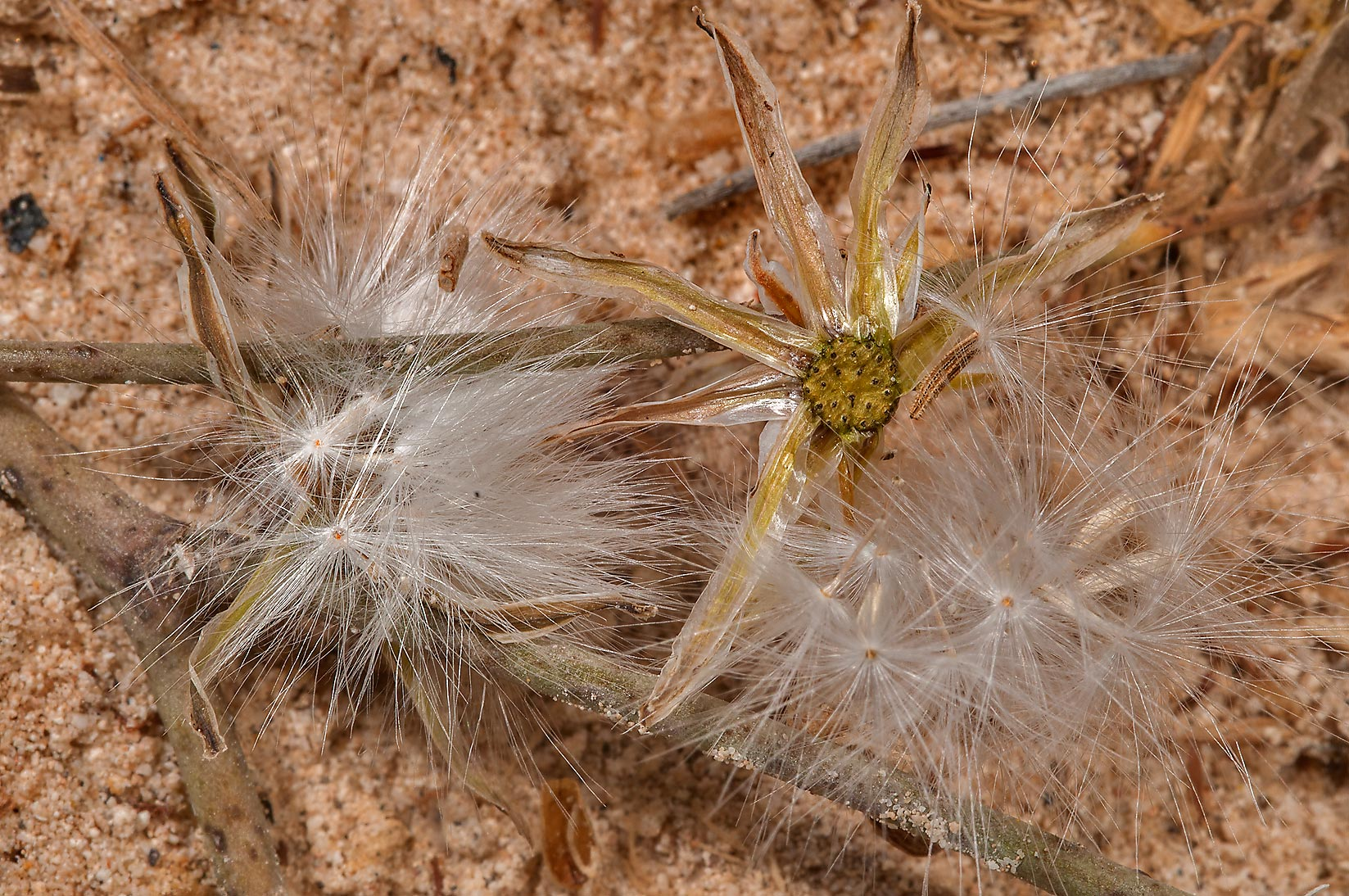 Fluffy seeds of a plant of aster family in desert...of Ras Laffan, north from Doha. Qatar