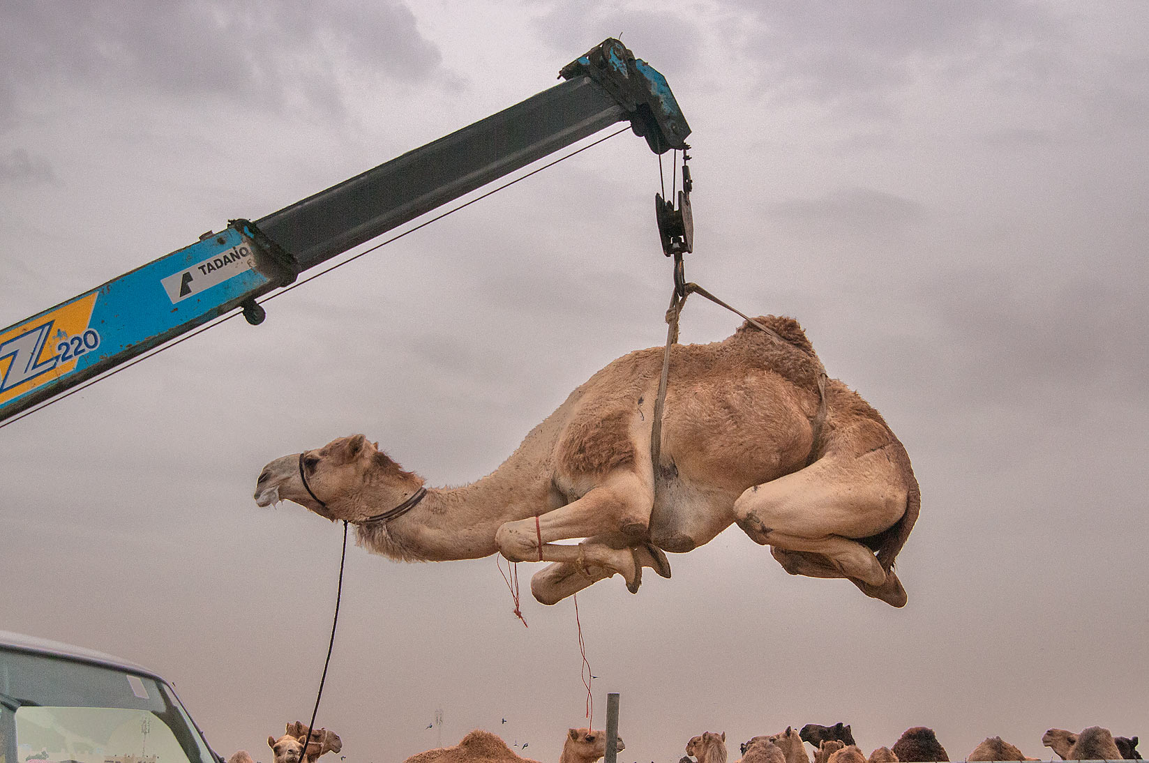 Camel suspended in air by hydraulic crane in...markets, Abu Hamour area. Doha, Qatar