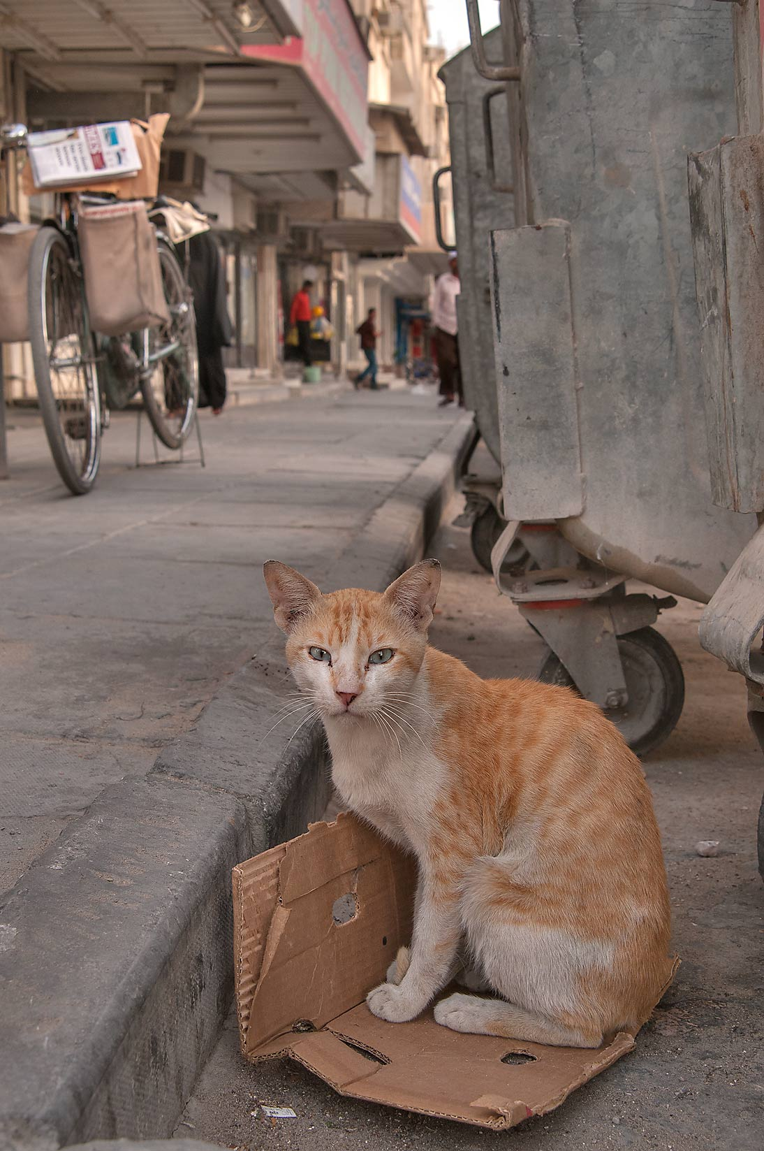 Brown stray bicolor arabian mau cat sitting near...Thani St., Musheirib area. Doha, Qatar
