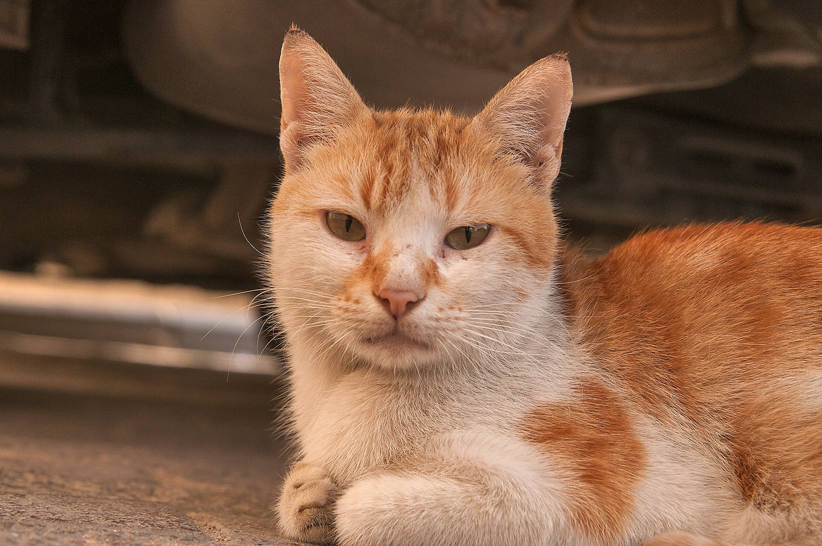Stray brown arabian mau cat under a dumpster at...Thani St., Musheirib area. Doha, Qatar