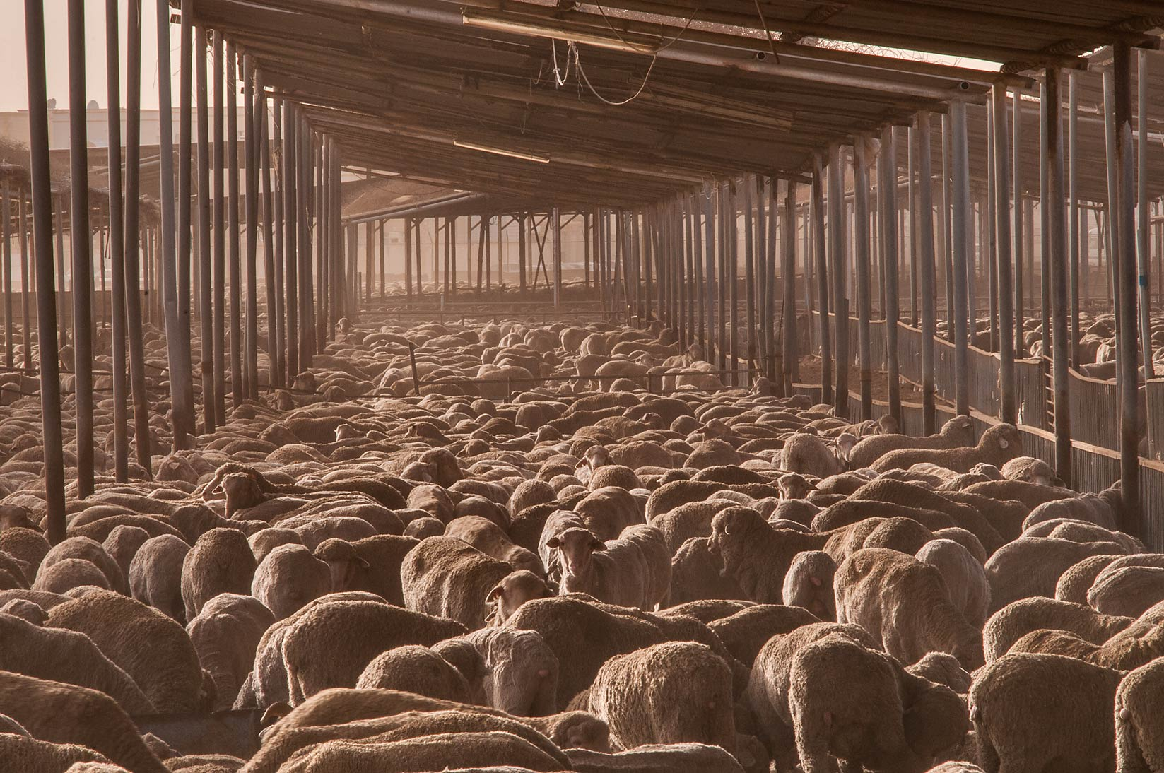 Australian sheep crowding in a feedlot of...in Abu Hamour. Doha, Qatar