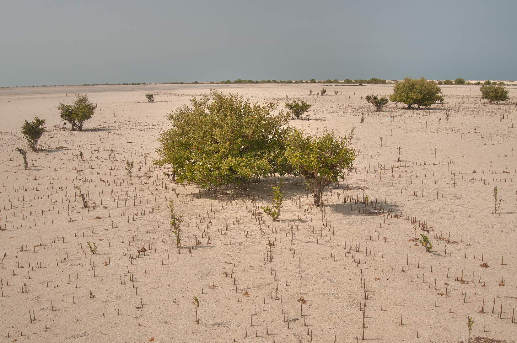 Mangroves (Avicennia marina) with aerial roots...tip of Qatar, east from Ruwais. Qatar