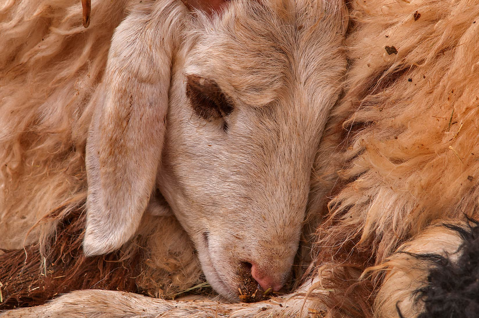 Sleeping sheep in livestock markets, Abu Hamour area. Doha, Qatar