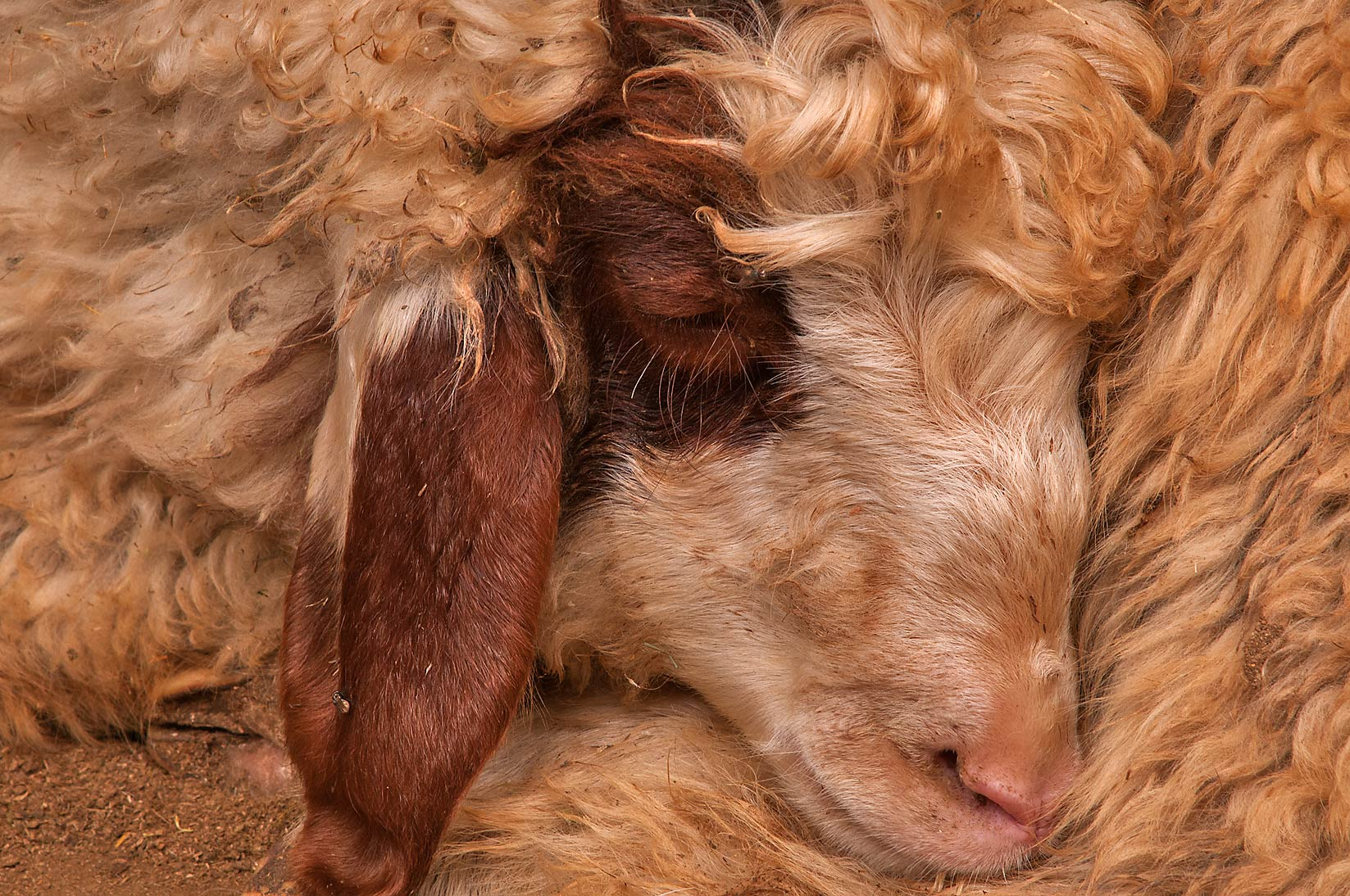 Close up of a sleeping sheep in livestock markets, Abu Hamour area. Doha, Qatar