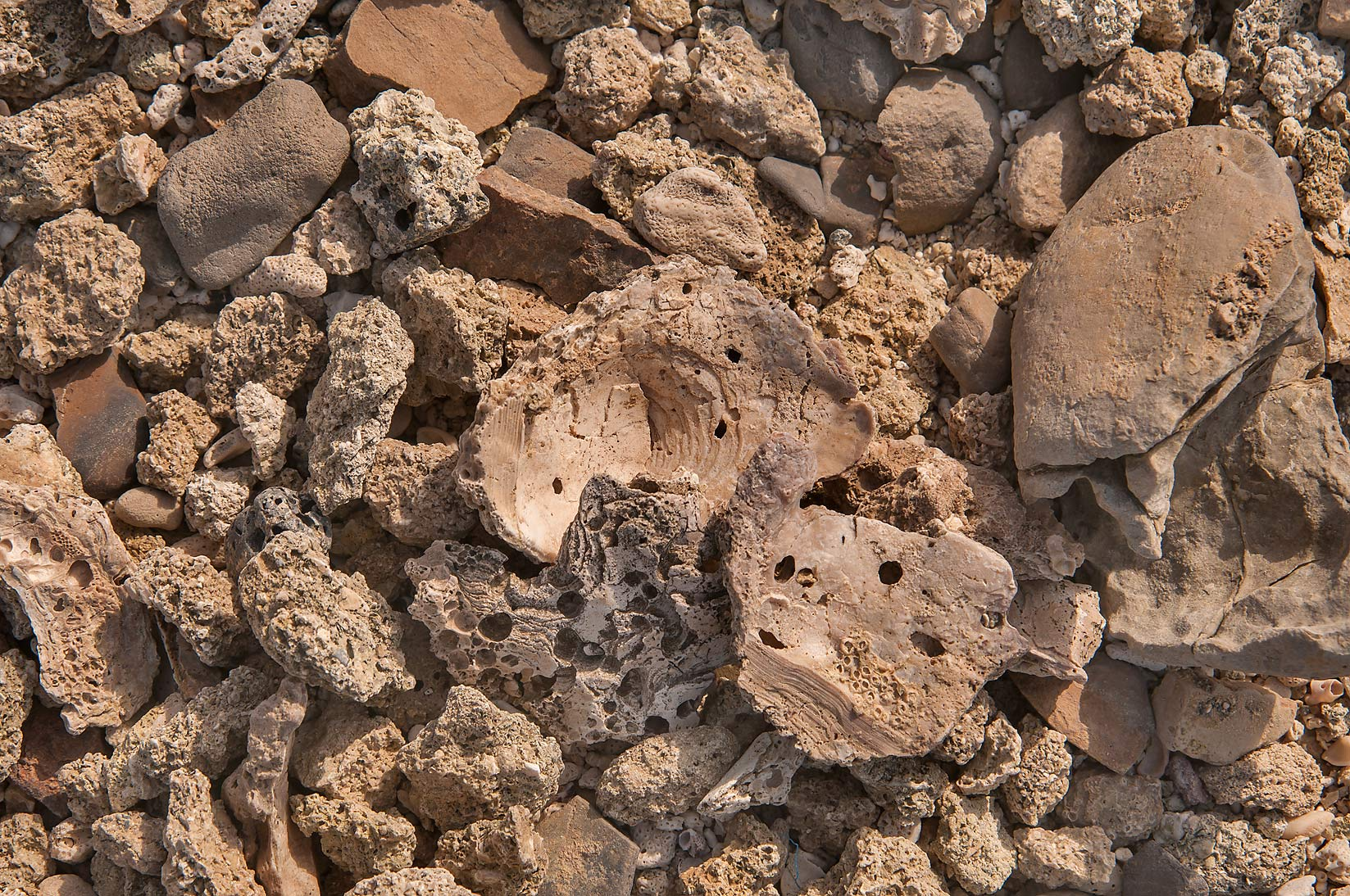 Fossilized oyster shells and dead corals on a...Haloul Island (Jazirat Halul). Qatar