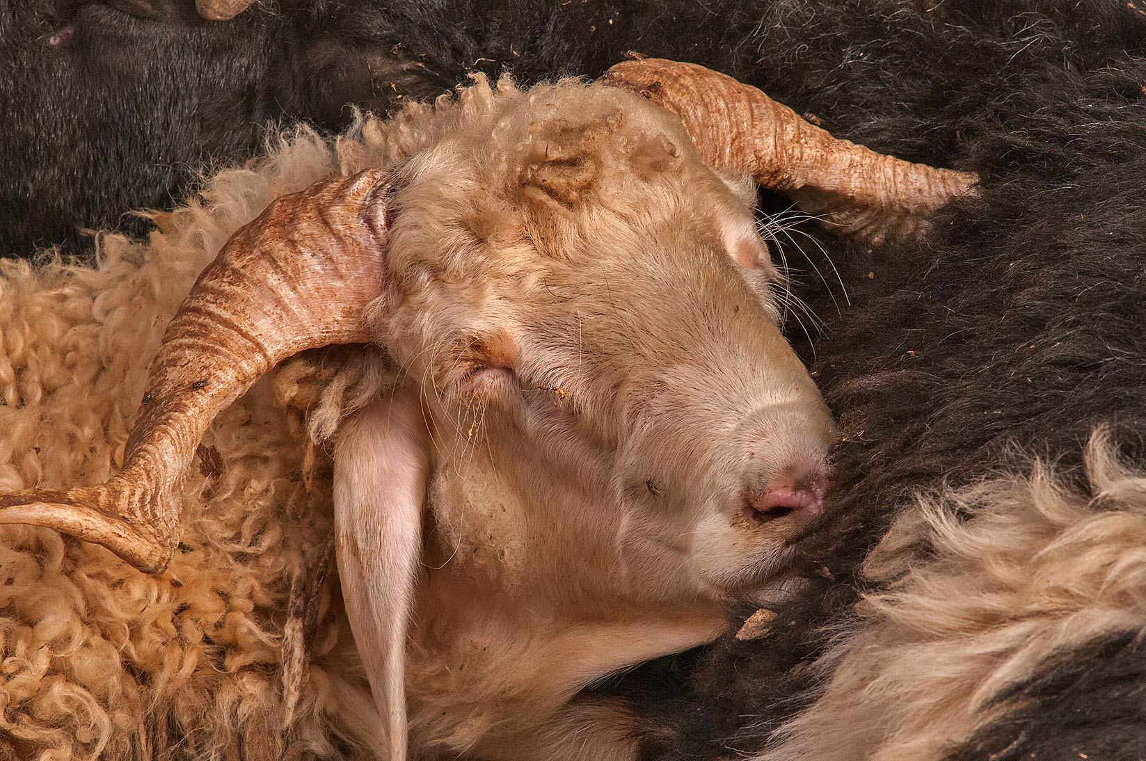 Head of a sleeping sheep in livestock market, Abu Hamour area. Doha, Qatar