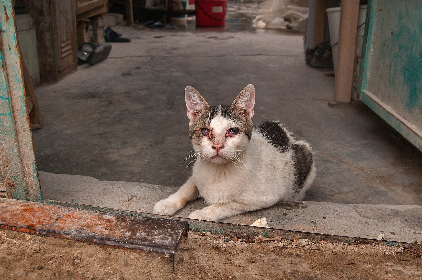 Blind cat at Sikkat Abu Thila, Musheirib area. Doha, Qatar