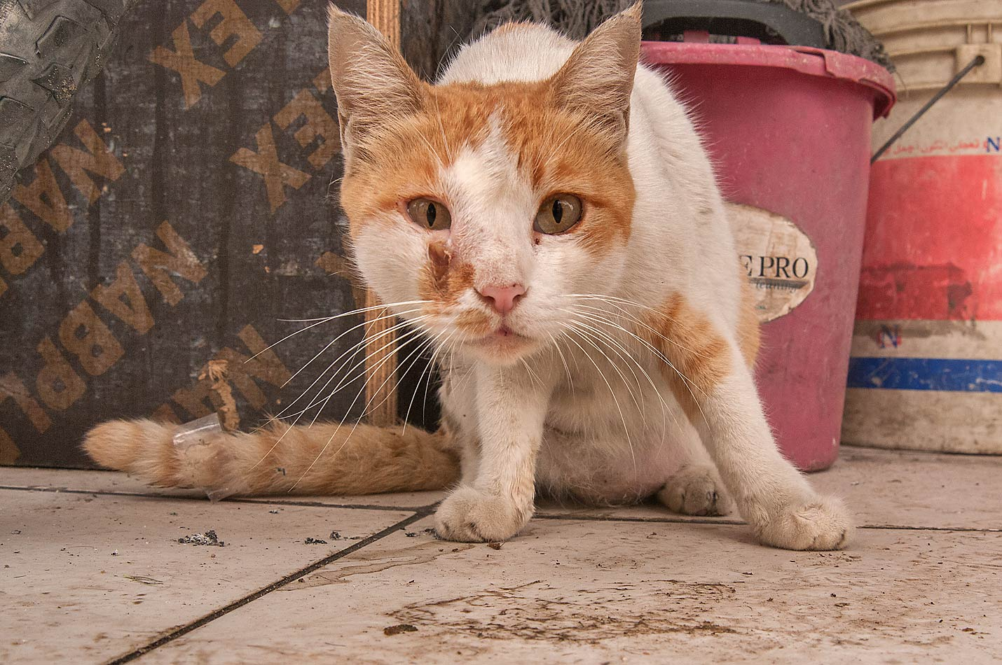 Cat with damaged face on Al Maymoun St., Musheirib area. Doha, Qatar