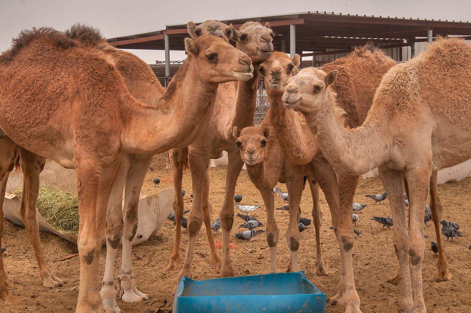 Group of camels at breakfast in livestock market, Abu Hamour area. Doha, Qatar