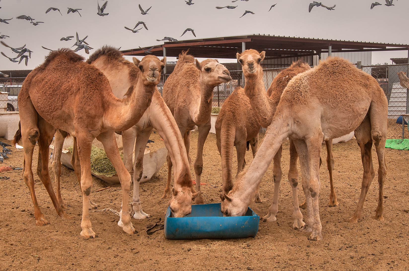 Group of camels taking breakfast in livestock market, Abu Hamour area. Doha, Qatar