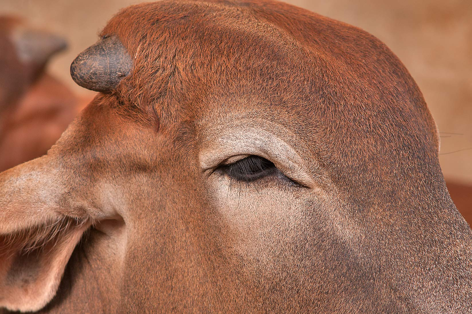 Head of a brown cow in livestock markets in Abu Hamour. Doha, Qatar