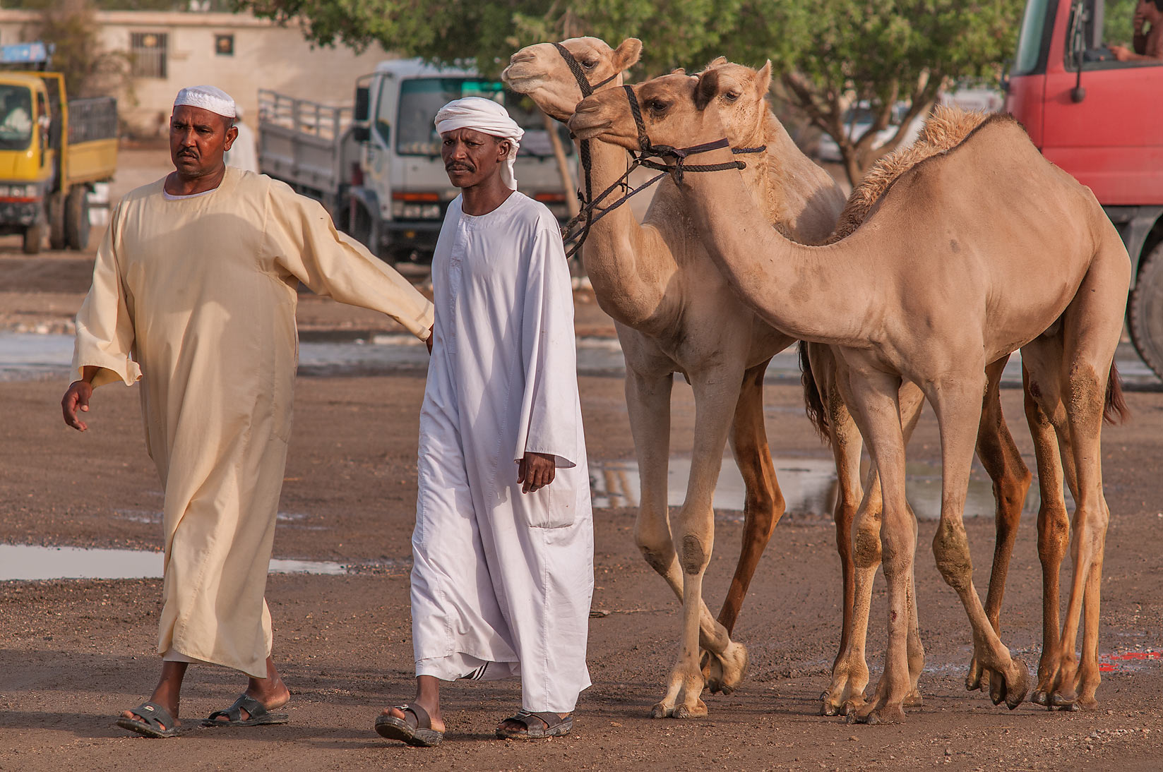 People with camels in livestock markets in Abu Hamour. Doha, Qatar
