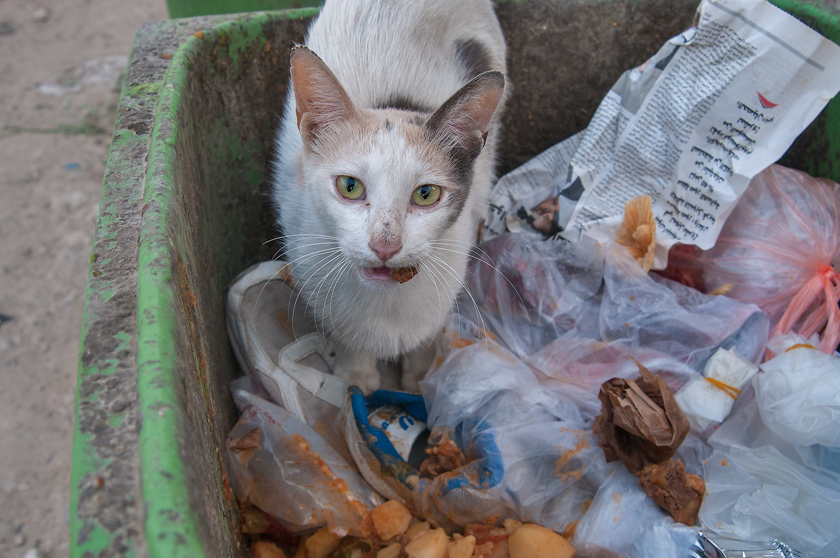 Cat eating cereal for breakfast in a dumpster...Thani St., Musheirib area. Doha, Qatar
