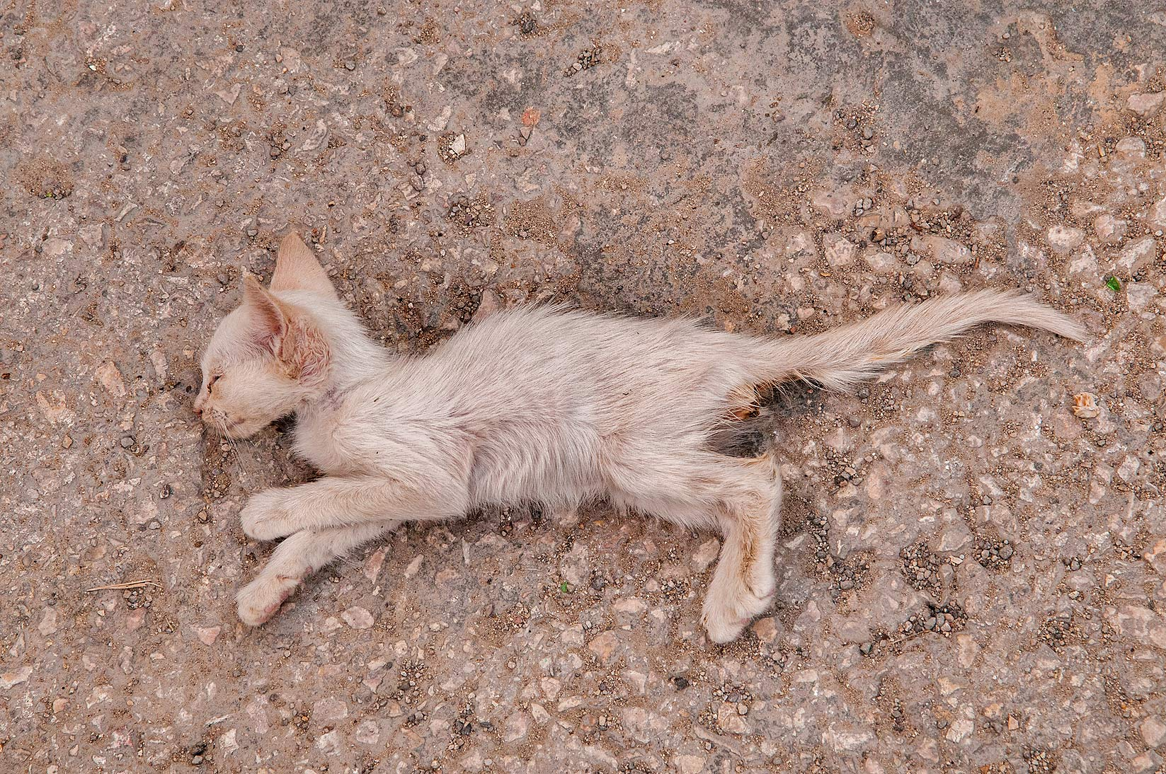 Mummy of a kitten dried in heat on Umm Wishah St. in Musheirib area. Doha, Qatar