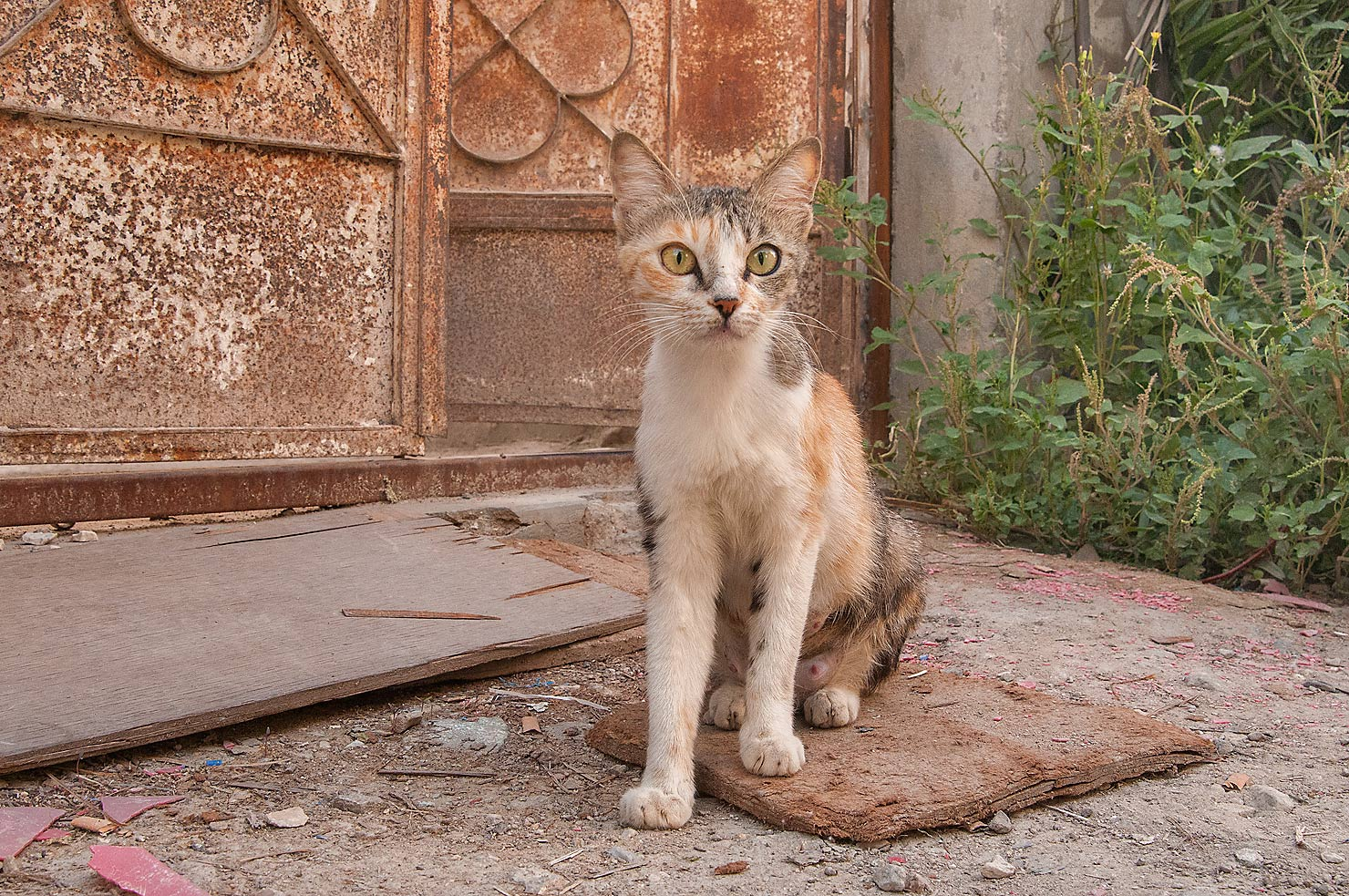 Rusty arabian mau cat in Musheirib area. Doha, Qatar