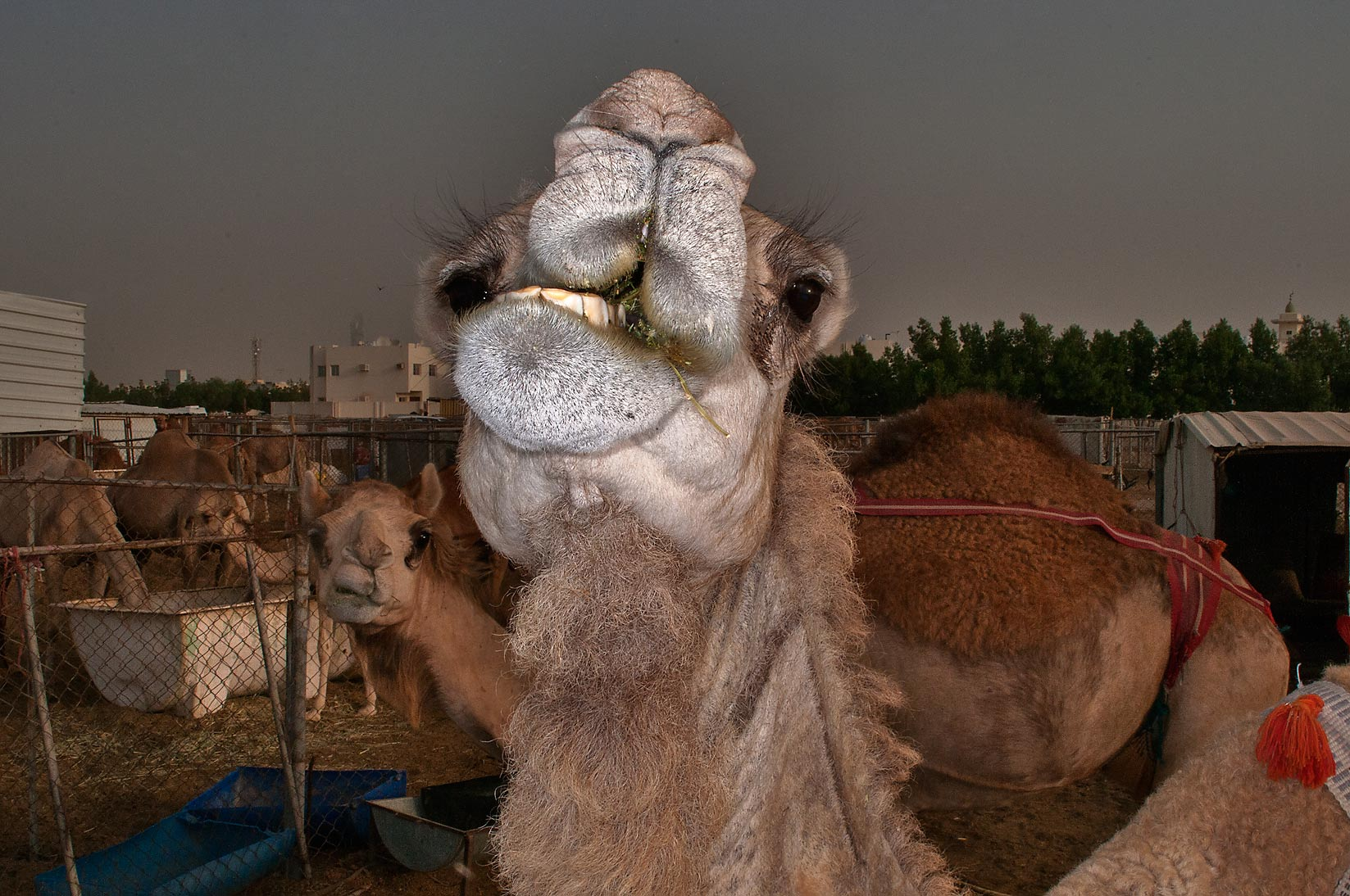 Chewing camels in Livestock Market, Wholesale Markets area. Doha, Qatar
