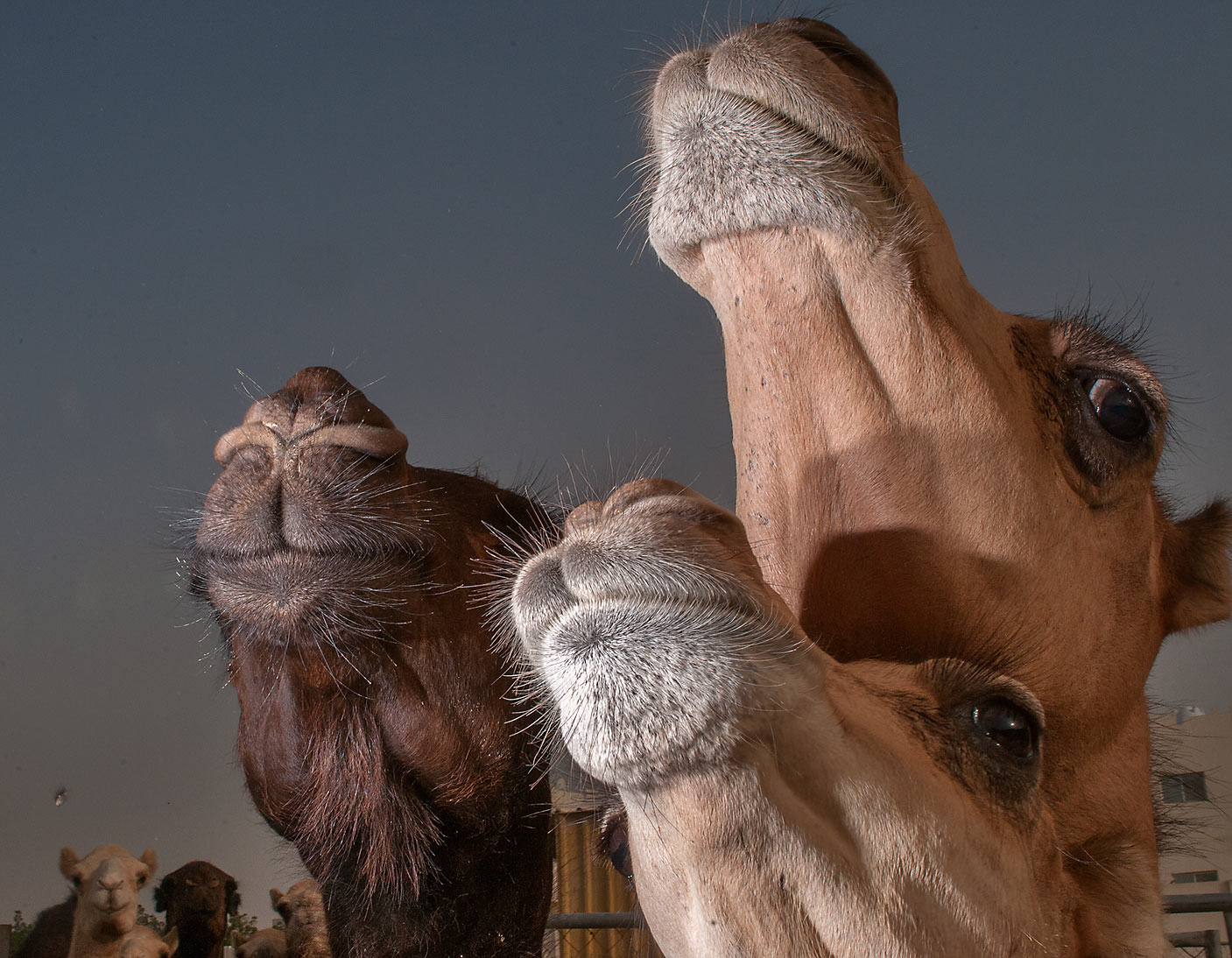Politically correct' portrait of three camels in...Wholesale Markets area. Doha, Qatar