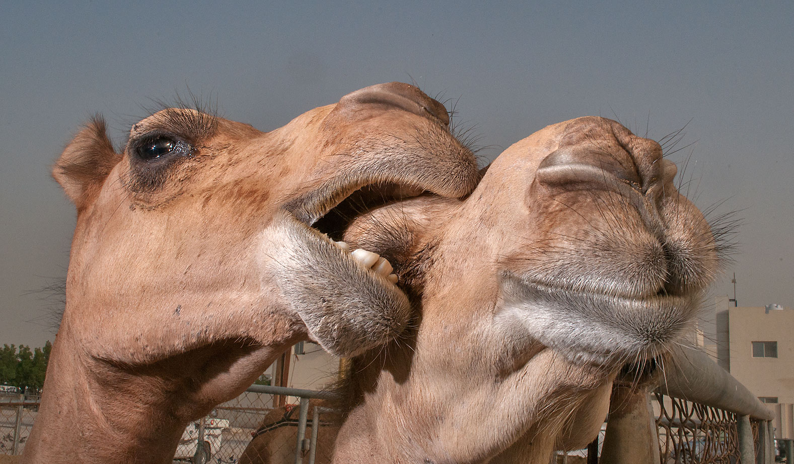 Kissing camels in Livestock Market, Wholesale Markets area. Doha, Qatar