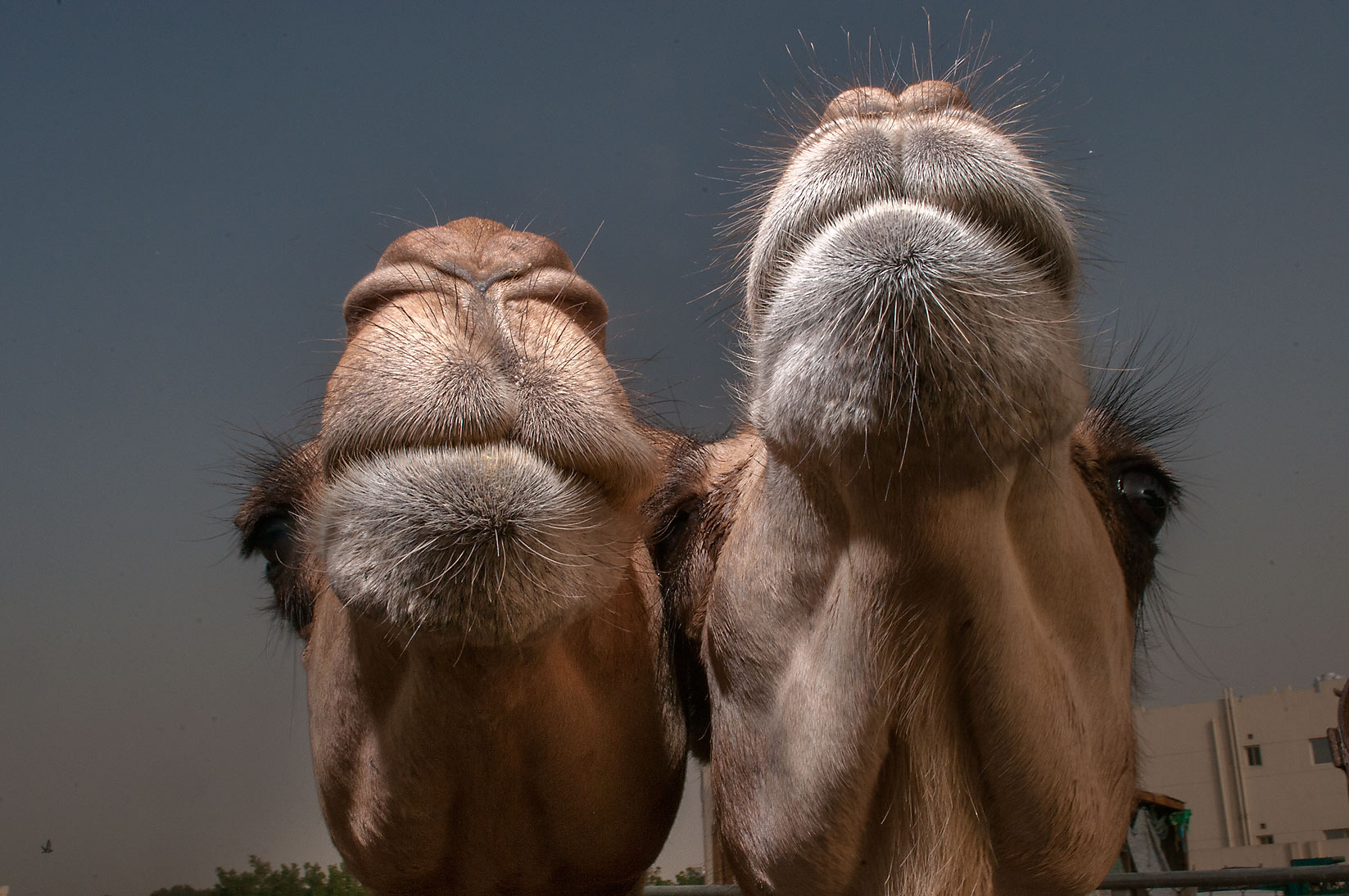 Pair of camel's snouts in Livestock Market, Wholesale Markets area. Doha, Qatar