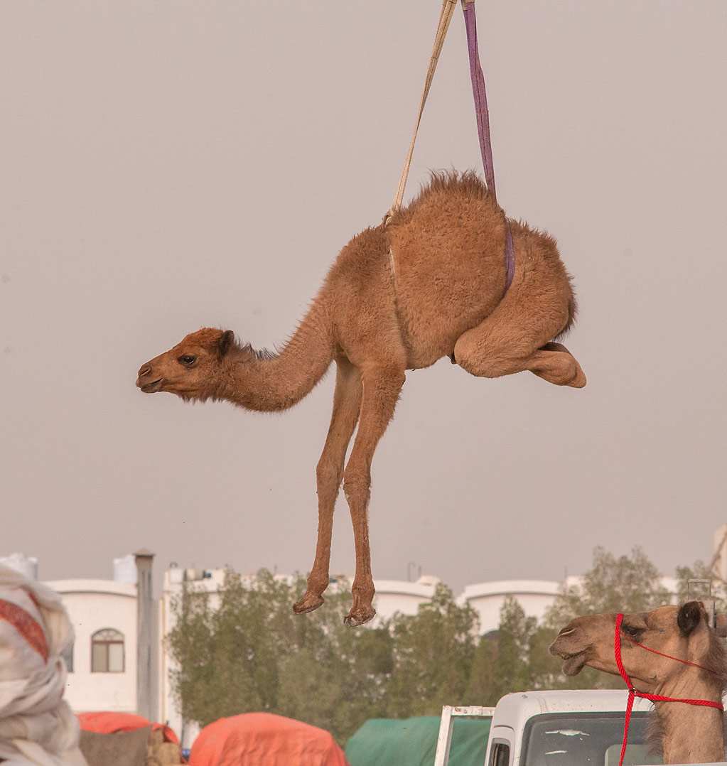 Camel's calf lifted by hydraulic crane after it...Wholesale Markets area. Doha, Qatar