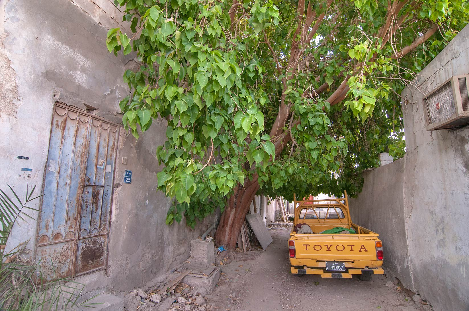 Large sacred fig (Bo-Tree, Ficus religiosa) in an...Thani St., Musheirib area. Doha, Qatar