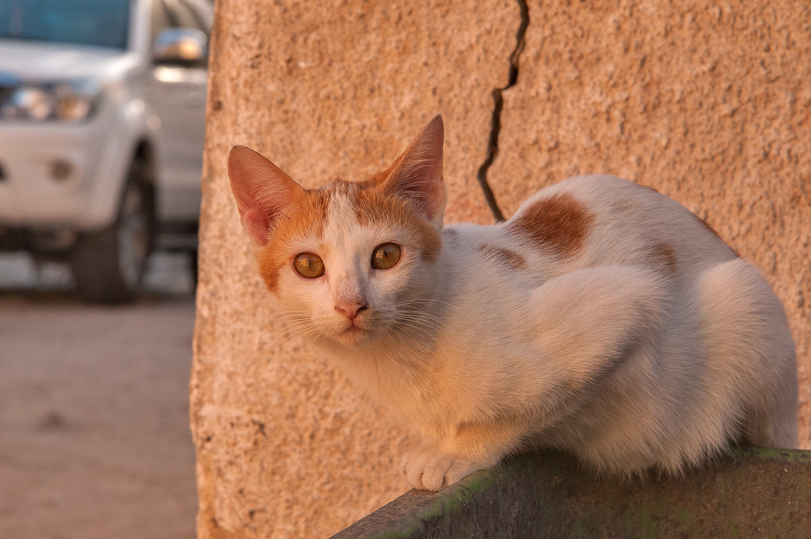 Arabian mau cat watching sunrise from a dumpster...Thani St., Musheirib area. Doha, Qatar