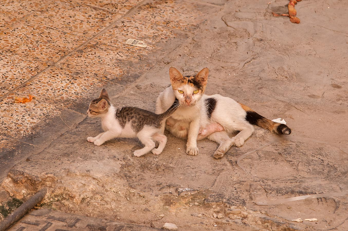 Family of cats at Al Aqaba St., Fereej Abdel Aziz area. Doha, Qatar