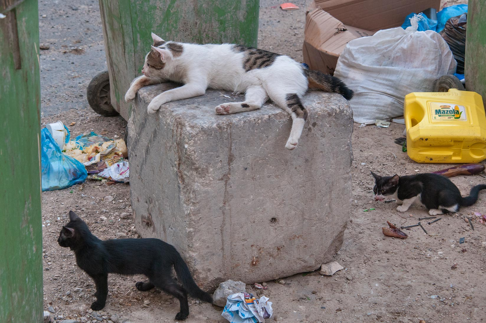 Family of cats on lookout at Aws Bin Al Samit St., Musheirib area. Doha, Qatar