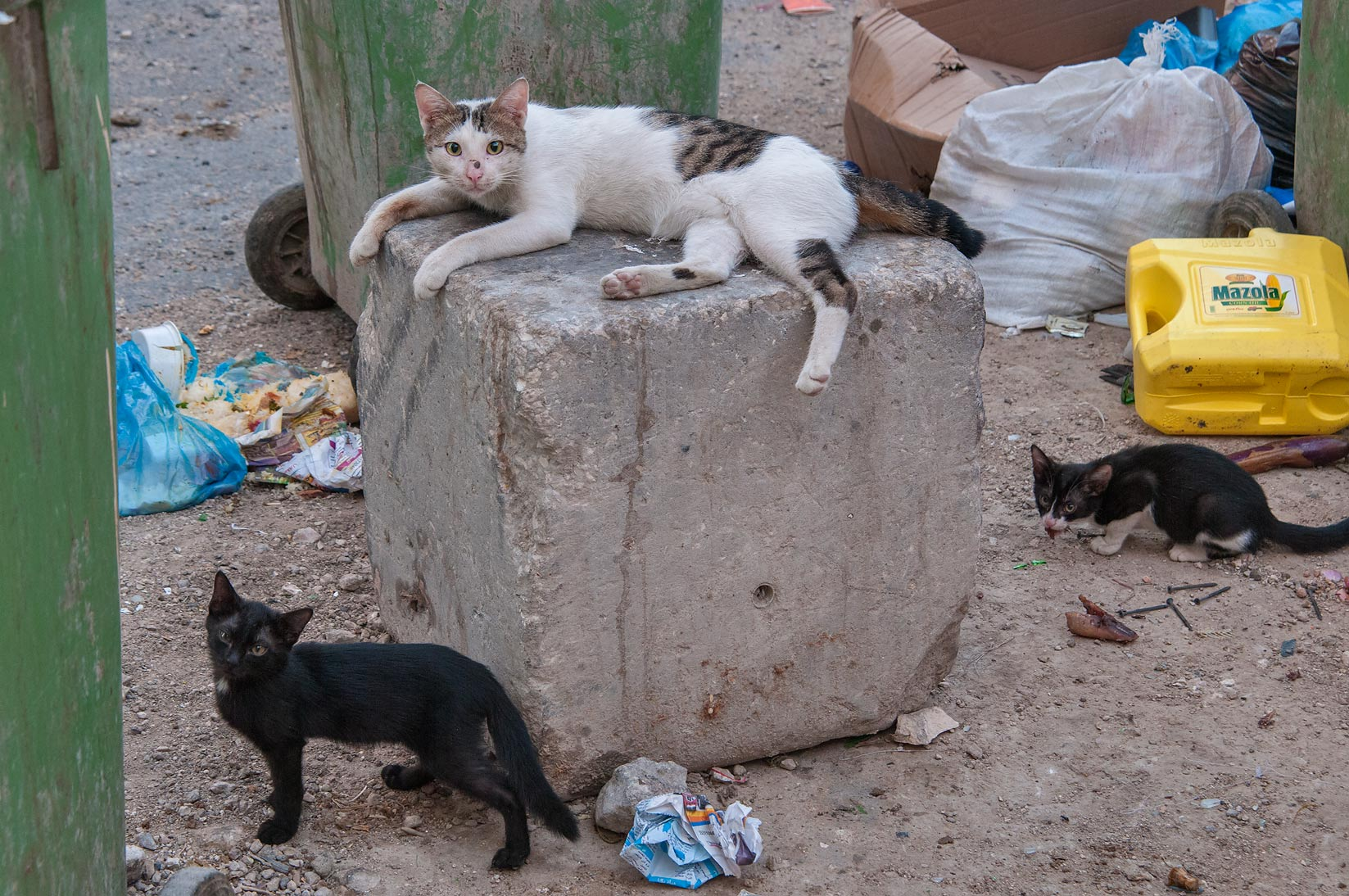 Family of cats at Aws Bin Al Samit St., Musheirib area. Doha, Qatar